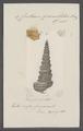 Cerithium granulatum - - Print - Iconographia Zoologica - Special Collections University of Amsterdam - UBAINV0274 083 05 0013.tif