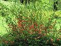 Chaenomeles japonica flowers 04.JPG