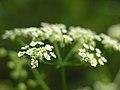 Chaerophyllum temulum inflorescence (14).jpg