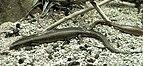 Chalcides ocellatus MNHN.jpg