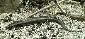 Description de l'image Chalcides ocellatus MNHN.jpg.