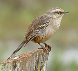 Chalk-browed Mockingbird (Mimus saturninus), Poconé, Mato Grosso.jpg