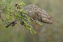 Un caméléon commun, près de Murcie, en Espagne, sur une branche de romarin.