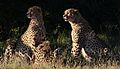 Cheetah, Acinonyx jubatus, at Pilanesberg National Park, Northwest Province, South Africa. (27486899922).jpg