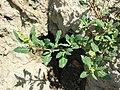 Chenopodium glaucum sl35.jpg