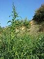 Chenopodium glaucum sl41.jpg