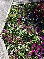 Chenopodium murale sl35.jpg