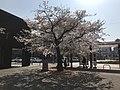 "Cherry Blossoms ""Seichozakura"" in front of Nishitetsu-Kashii Station 4.jpg"
