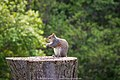 Chester the Squirrel (17729093412).jpg