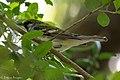 Chestnut-sided Warbler (female) Smith Oaks TX 2018-04-23 14-18-59 (40249686780).jpg