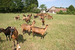 Chèvres alpines chamoisées au pâturage 1108191d1fa