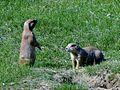 Chien de prairie à queue noire ( Cynomys ludovicianus) (2).jpg