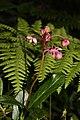 Chimaphila umbellata 0961.JPG