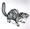 Chipmunk (PSF).jpg