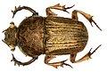 Chironitis indicus Lansberge, 1875 male (2872657334) (2).jpg