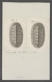 Chiton spec. - - Print - Iconographia Zoologica - Special Collections University of Amsterdam - UBAINV0274 081 06 0025.tif