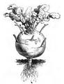 Chou-rave blanc hâtif de Vienne Vilmorin-Andrieux 1883.png