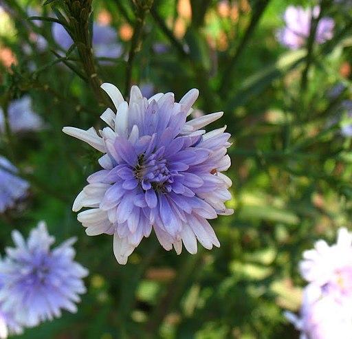 Chrysanthemum Blue by Sugeesh at Malayalam Wikipedia [CC BY-SA 3.0 (https://creativecommons.org/licenses/by-sa/3.0)]