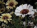 Chrysanthemum from Lalbagh flower show Aug 2013 8323.JPG