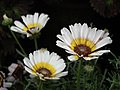Chrysanthemum from Lalbagh flower show Aug 2013 8337.JPG