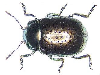 Chrysolina - Chrysolina bicolor