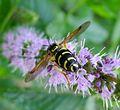 Chrysotoxum festivum - Flickr - gailhampshire (4).jpg
