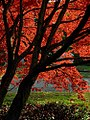 "Cincinnati - Spring Grove Cemetery & Arboretum ""The Road Past The Bloodgood Japanese Maple Tree"" (6337588162).jpg"
