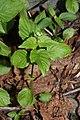 Circaea alpina 6772.JPG