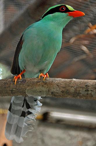 Cissa (genus) - Image: Cissa chinensis Chiang Mai Zoo, Thailand 8a