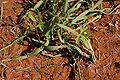 Cissus quadrangularis W IMG 3196.jpg