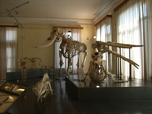 Museo Civico di Zoologia - Osteology Gallery in the Museo Civico di Zoologia.