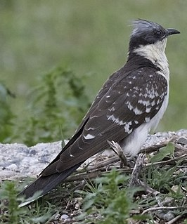 Great spotted cuckoo species of bird