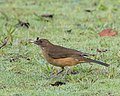 Clay-colored Thrush (27231385379).jpg