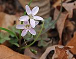 Claytonia virginica spring beauty close.jpg
