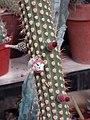 Cleistocactus reae.jpg