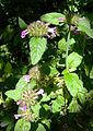 Clinopodium vulgare plant1.jpg