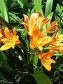 Clivia miniata-yercaud-salem-India.jpg