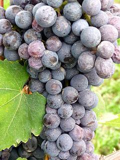 Nebbiolo wine making grape