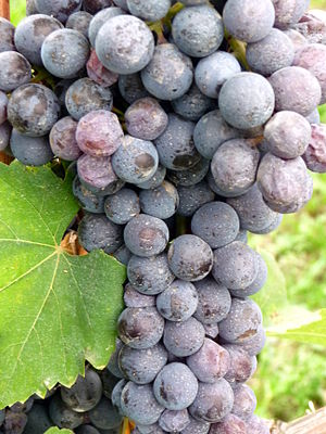 Close up of the Piedmont grape variety Nebbiolo