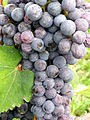 Close up of Nebbiolo cluster in Italy.jpg
