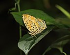 Close wing position of Symbrenthia brabira Moore, 1872 – Yellow Jester.jpg