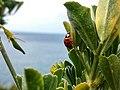 Coccinella sulla scogliera di Calafuria 2.jpg
