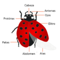Coccinellidae anatomia.png