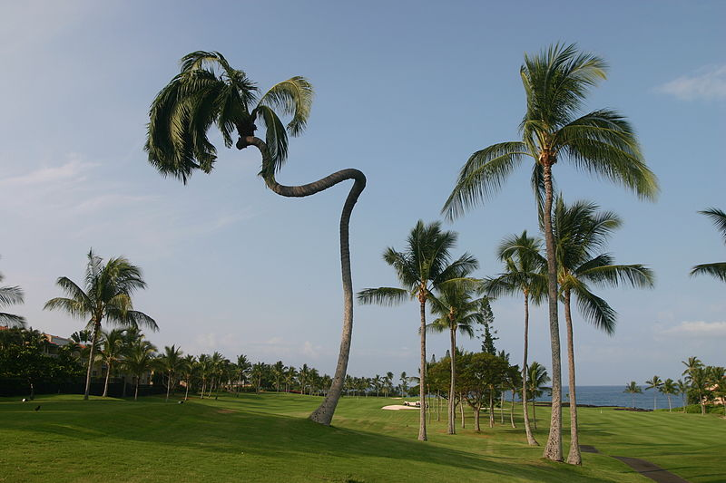 File:Coconut trees in Hawaii.jpg
