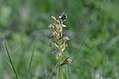 Coeloglossum viride Anthese.jpg