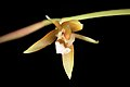 Coelogyne candoonensis (Philippines) Ames, Schedul. Orchid. 6- 18 (1923) (34377333373).jpg