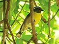 Coereba flaveola ( Sucrier à ventre jaune ).jpg