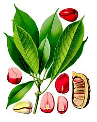 Cola acuminata - Köhler–s Medizinal-Pflanzen-190