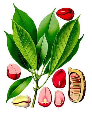 Cola acuminata, Illustration mit Frucht