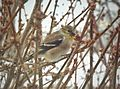 Cold weather goldfinch (24523350325).jpg